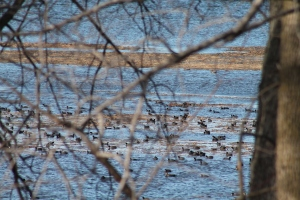 Waterfowl 076