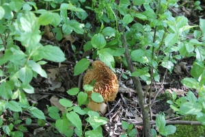 Woods and Morels 080