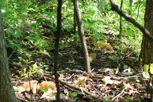Woods and Morels 084