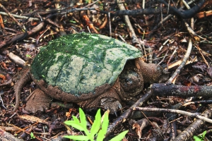 snapping-turtles-185