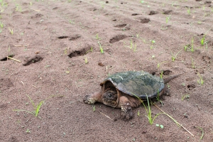 snapping-turtles-189