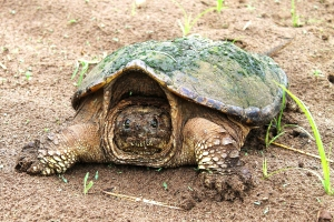 snapping-turtles-191