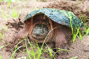 snapping-turtles-201